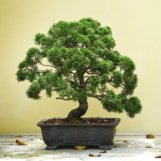 bonsai tree against a yellow background